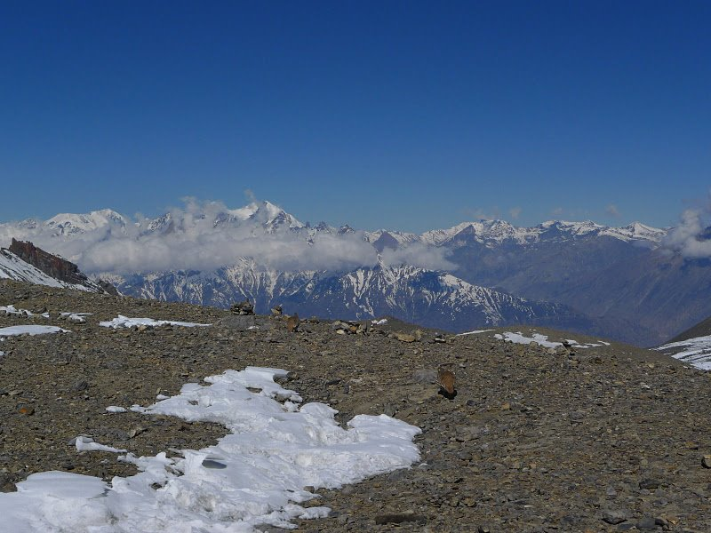 Ułary Himalajskie na Thorung La